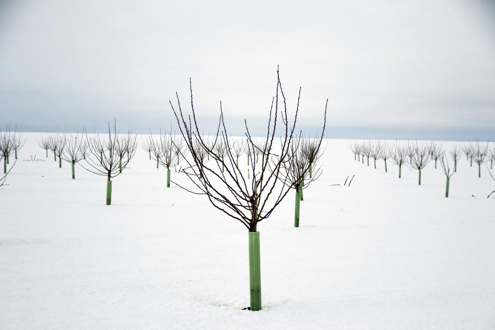 El tratamiento de invierno en Almendro, un sano comienzo para su cultivo