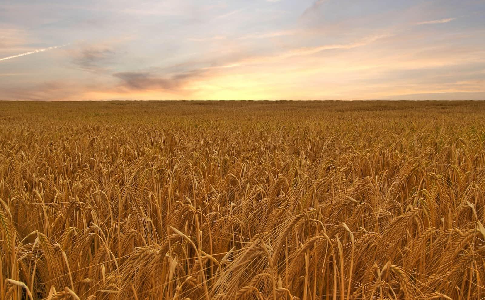 Aproveche al máximo el abono en sus cereales